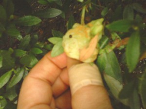 Leaf in May that became deformity by electromagnetic radiation